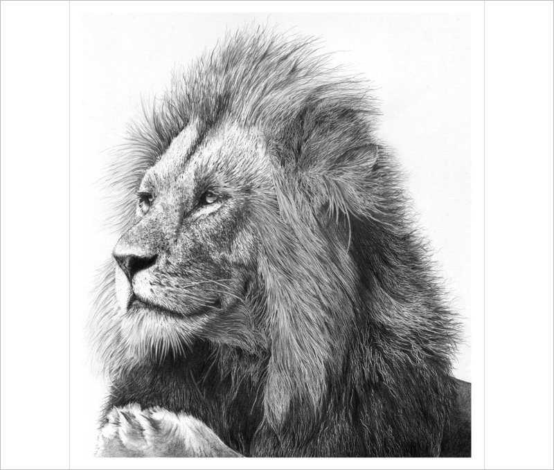 Best Lion Drawing Design