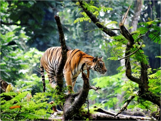Bengal Tiger Desktop Background Pictures