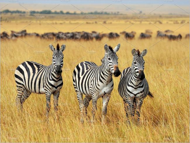 Black & white Zebra Colour Image.