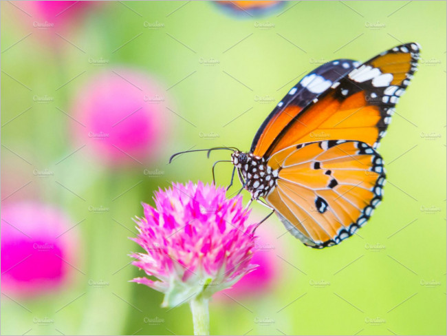 Plain tiger butterfly image Design