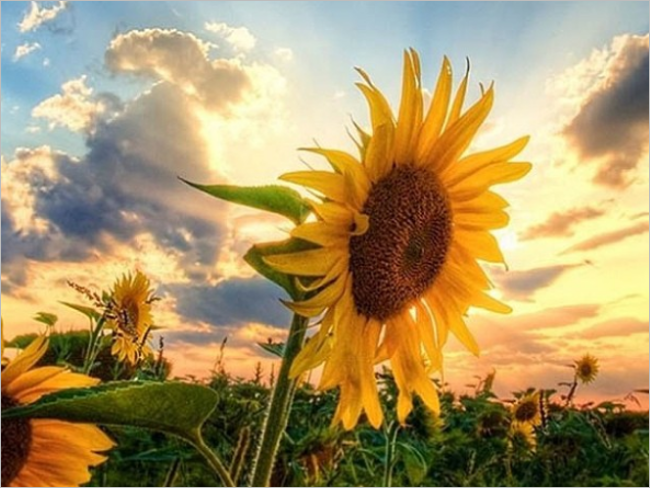Sunflowers Background Picture HD