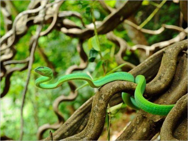 Vine Snake HD Background Images