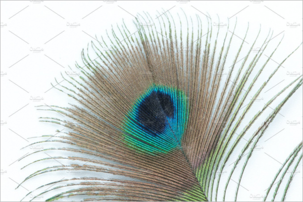 Blue Eye Peacock Feather