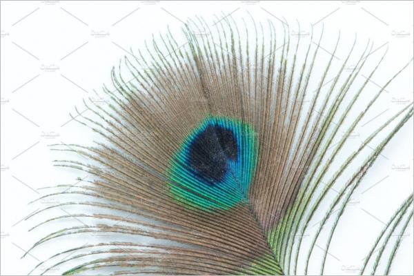 Blue Eye Peacock Feather