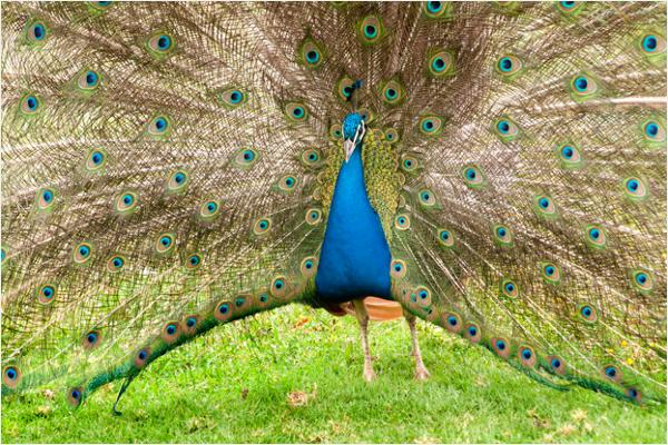 Colorful peacock Design