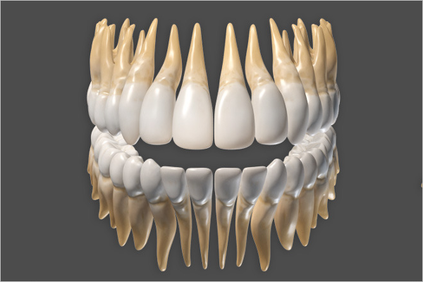 3D Anatomy Of Human Teeth