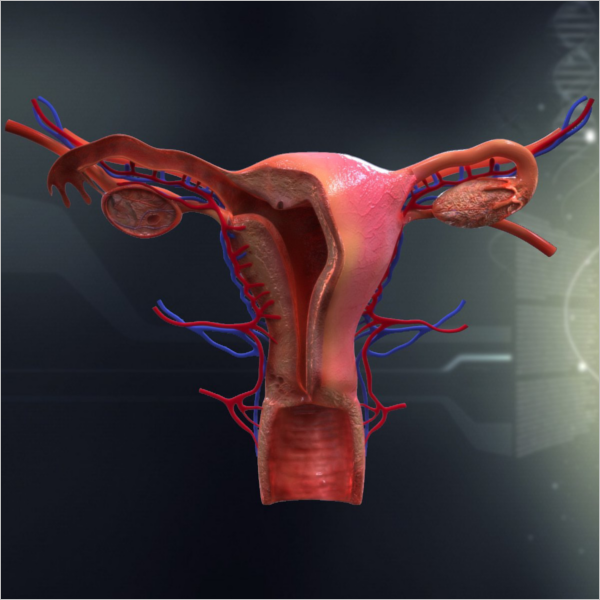 Female Organ Anatomy 3D Design