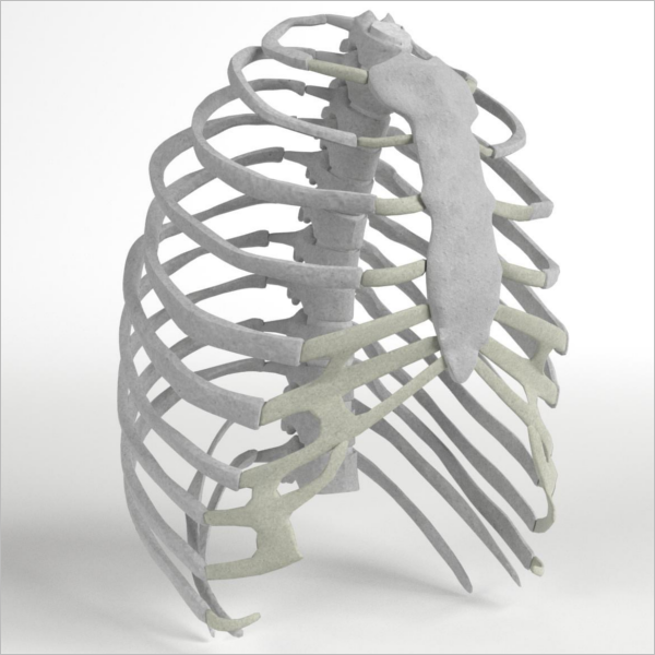 Human Rib Cage 3D Design