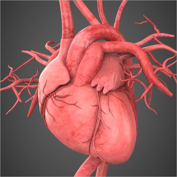 Realistic Human Heart Model