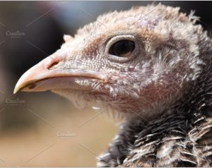 Headshot of wild turkey Portrait
