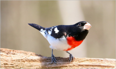 A Male Rose breasted Grosbeak