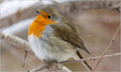 Robin red breast snow scene