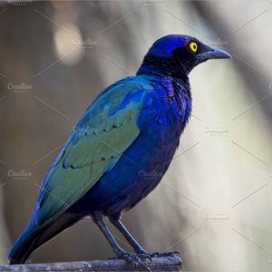 purple starling