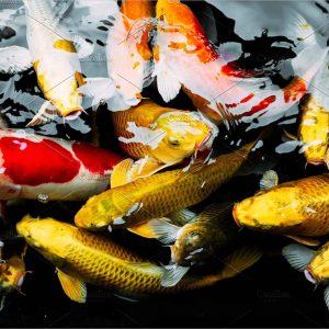 Koi carp in the pond